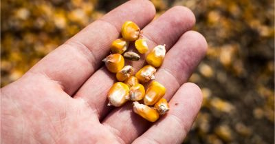 Farmer holding corn kernels in hand