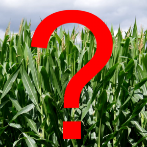 Corn field with a red question mark
