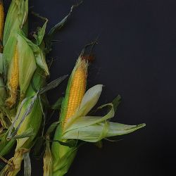 several ears of corn in their husks on a black background
