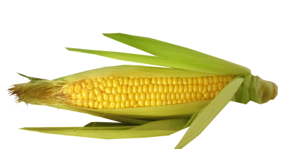 corn cob with husk partially open to display the kernels