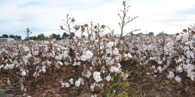cotton growing in a field