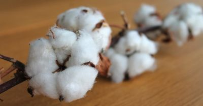Single branch of cotton with buds