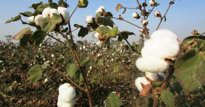 crop of cotton buds on a farm field