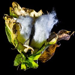 bud of a cotton plant against a black background