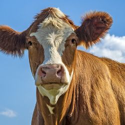 red and white cow on a field with blue sky