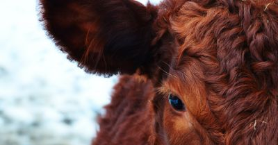 profile of a brown cow on a snowy farm field