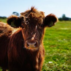 brown furry cow grazing on a green grassy pasture