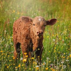 a fuzzy brown calf grazing in a meadow of wildflowers