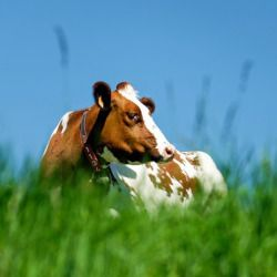 brown and white cow laying in a grassy meadow