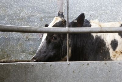 Cow encased in a cage on a large industrial farm