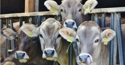 cows in a line at a dairy cafo