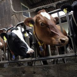 brown and black cows in a factory farm cafo sticking their heads through a metal gate
