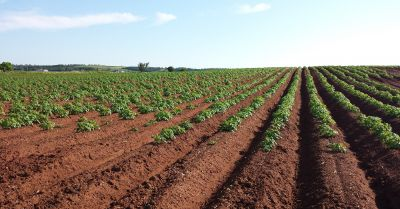 tilled rows of potato plants on an agricultural farm