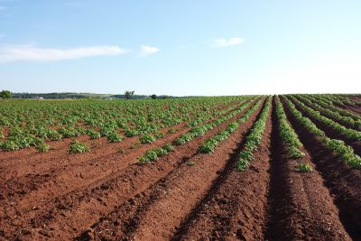 Potato plants in rows on a farm field