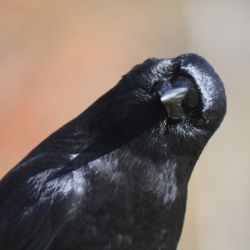 black crow tilting its head in a quizzical manner