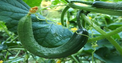 Young cucumber on the vine