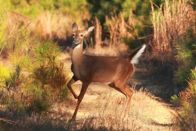 a white tailed deer stops to look at the photographer