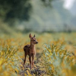 baby fawn standing in a field