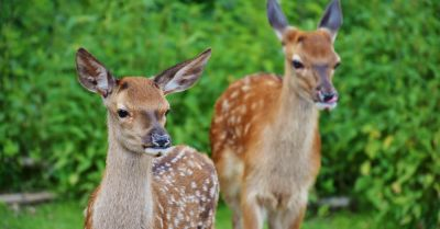 two young deer fawns in a forest field