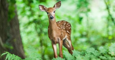 deer fawn in the forest