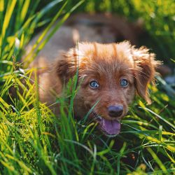 small brown puppy dog laying in a grassy green lawn