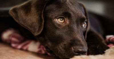 brown Labrador puppy dog laying down on a red and white blanket