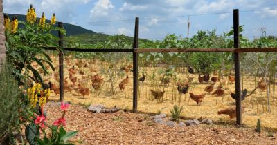 chickens in a beautiful garden at the Via Organica Ranch