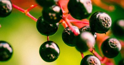 close up of black elderberries