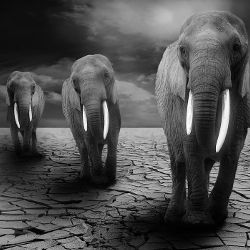 Line of elephants walking across drought stricken cracked earth