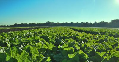 Lettuce crop field on a farm at sunrise