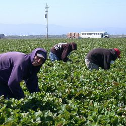 Farm workers in a crop field harvesting strawberries