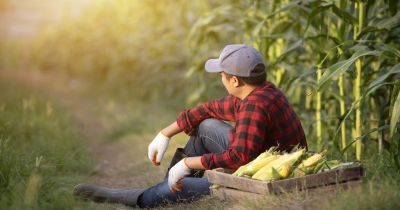 farmer sitting in a corn crop field with a small wooden box of harvested corn