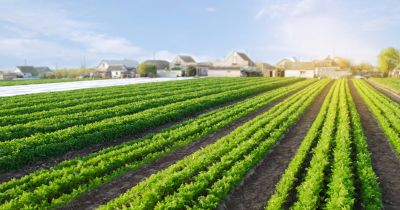 Rows of green leafy vegetables grown with neighborhood in background