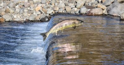 salmon swimming up river against the current