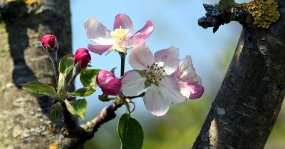Blossoms blooming on an apple tree