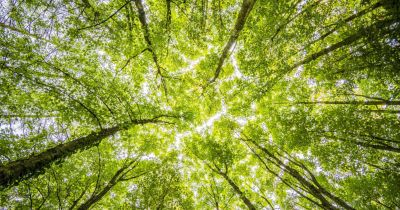 Worm's eye view of tree canopy