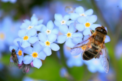 forget me not flower with bee