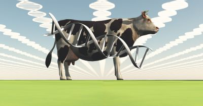 A cow surrounded by stylized DNA images
