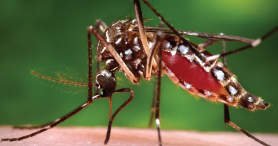 Millions of Genetically Modified Mosquitoes Released in