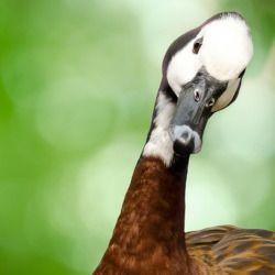 goose staring into camera with its head tilted