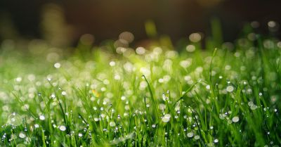 grassy meadow field full of morning dew drops
