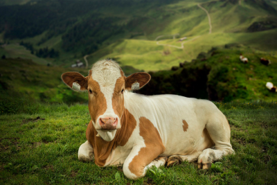 Greass fed cow