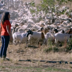 still image of woman overlooking herd of sheep from the film Resilience in Practice: Re-integrating Animals into Cropping Systems
