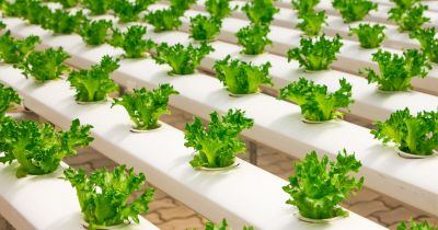 lettuce being grown in a hydroponic greenhouse