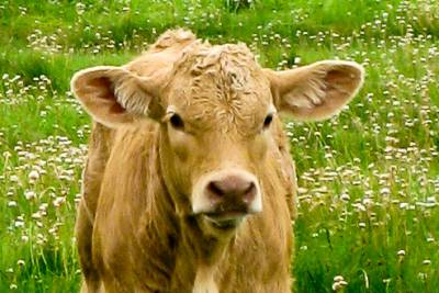 irish cow