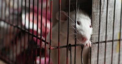 white lab rat in a cage for an experiment