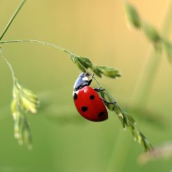 ladybug insect sitting on a stalk of wheat seeds