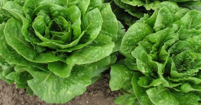 heads of lettuce in a bed of soil on a farm crop field