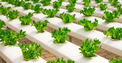 crop of hydroponic lettuce grown in a greenhouse