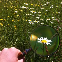 magnifying glass enlarging a daisy in a field of wildflowers